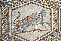 A tiger hunting from the 3rd century Roman mosaic villa floor from Lod, near Tel Aviv, Israel. The Roman floor mosaic of Lod is the largest and best preserved mosaic floor from the levant region along the eastern Mediterranean coast. It is unclear whether the owners were Jewish, Christian or pagan but either way they would have been wealthy to own such a magnificent floor. The Shelby White and Leon Levy Lod Mosaic Centre, Lod, Israel.