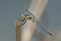 389220009 a wild male comanche skimmer libellula comanche dragonfly perches on a stick along devils river val verde county texas united states