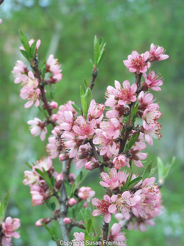 Blooming Peach tree in Joan Gussow's garden