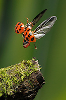 A ladybug taking off from a snag