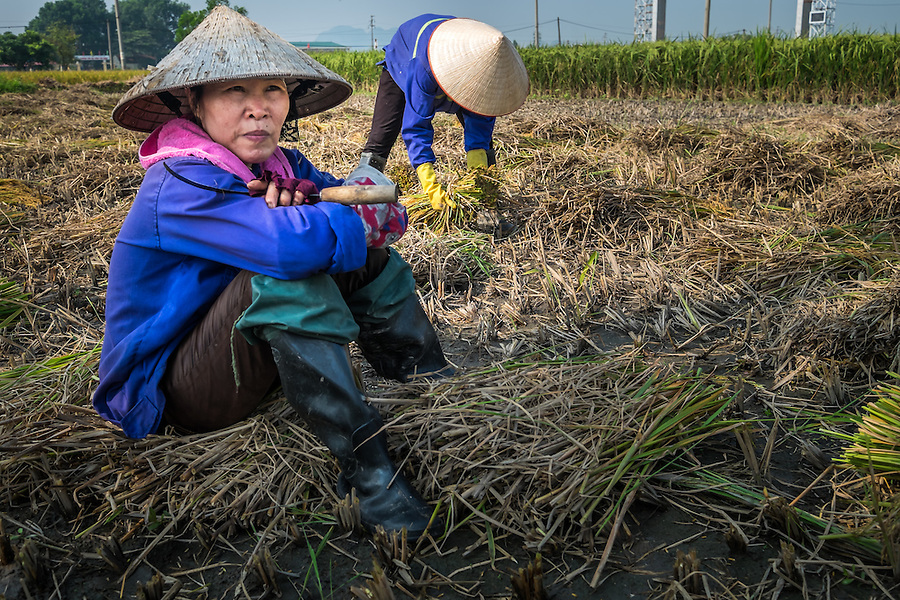 VIETNAM - CIRCA SEPTEMBER 2014:  Vietnamese women harvesting rice in the countryside.