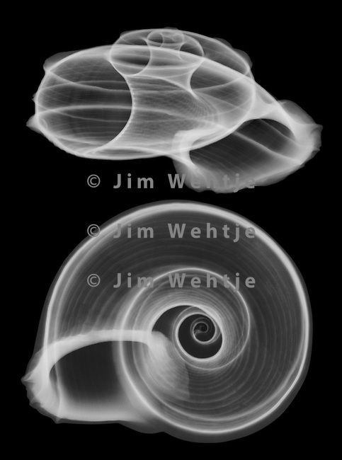 X-ray image of a Tropidophora cuveriana snail shell (white on black) by Jim Wehtje, specialist in x-ray art and design images.
