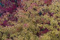 Suiker esdoorn (Acer saccharum)