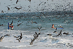 Sooty shearwaters and gulls in Aptos