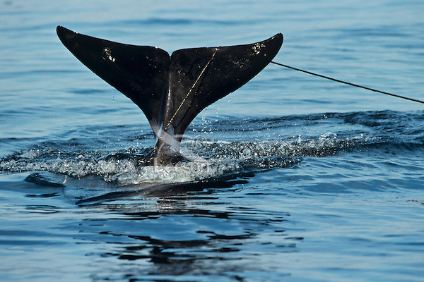 Orca Whale or killer whale (Orcinus orca) with kelp strand hooked on tail