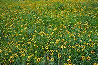 Rudbeckia hirta, Black-eyed Susan coneflower perennial wildflower in Tallgrass Prairie Preserve, Oklahoma