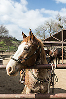 Guests can ride horses at The Alisal Guest Ranch and Resort, Solvang, California.