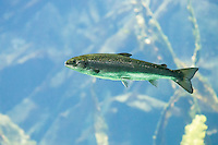 Atlantischer Lachs, Salm, Lachse, Salmo salar, Atlantic salmon, anadromer Wanderfisch, anadrom, anadromous