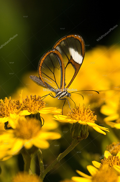 Clearwing butterfly on flower; San Isidro, Ecuador