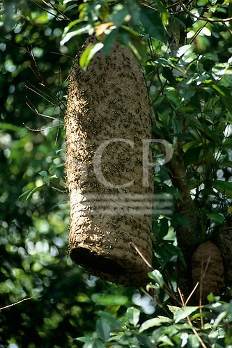Rio Negro, Brazil. Hornets nest hanging on a tree. Amazon; Amazonas State.
