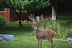 Trophy Whitetail buck in Missoula, Montana neighborhood