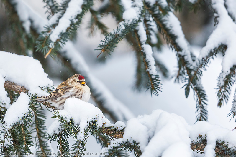 Redpoll perched on a snowy branch of a spruce tree, Alaska.