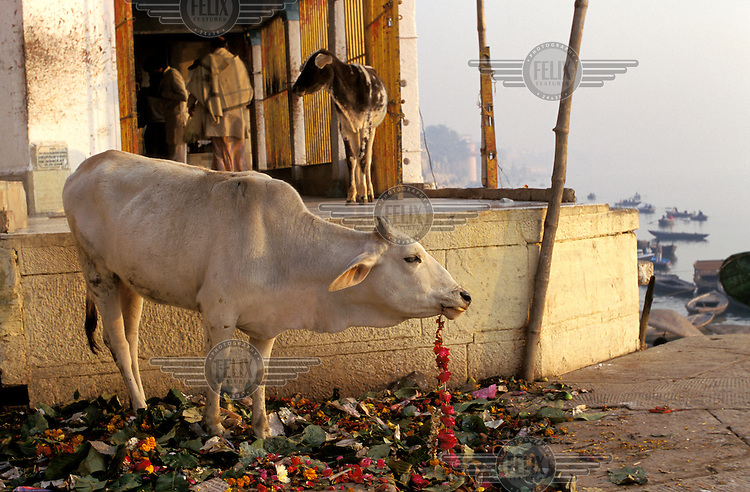 Holy cow eating discarded floral temple offering above the Ganges River.
