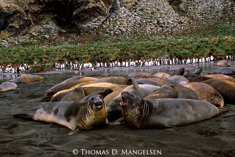 A group of Southern elephant seals relaxing on the shore with king penguins in the background in Grytviken, South Georgia.