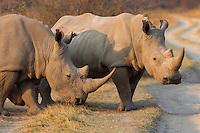 Rhinos crossing the dirt road.