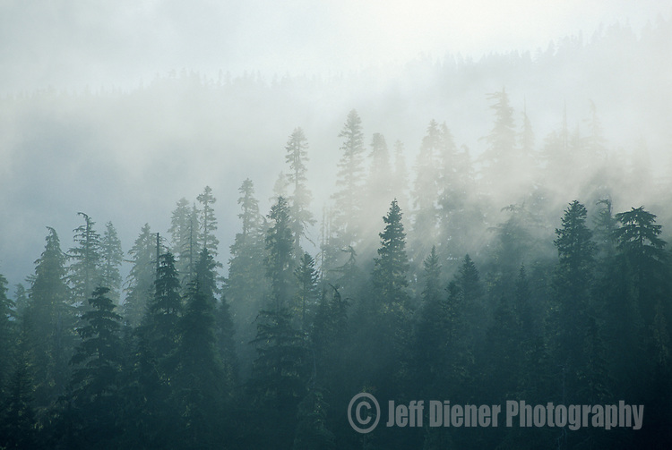 Sunlight filters through a misty evergreen forest in the Casacade Mountain Range, Washington.