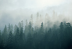 Sunlight filters through a misty evergreen forest in the Casacade Mountain Range, Washington.