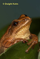 FR16-585z  Spring Peeper close-up of face, Hyla crucifer or Pseudacris crucifer