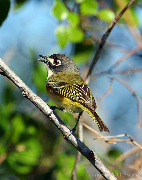 Female black-capped vireo. Ft Hood and the Nature Conservancy have collaborated in a very successful program to restore a healthy breeding population of these endangered birds through a combination of habitat restoration and brown-headed cowbird control.