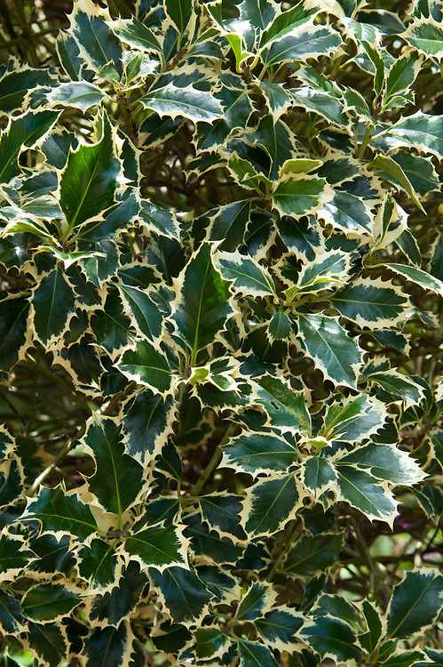 Ilex aquifolium 'Argentea Marginata' syn. 'Argentea Variegata', late July.