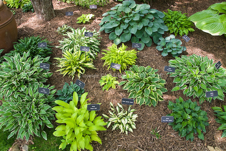 Plant labels signs showing names of hostas in hosta garden in shade under trees, with woodchip mulch, variegated foliage plants, gold yellow plant, blue leaves, green leaves, various types mixed and planted together, collection of hostas. Varieties include Hi Ho Silver, Little White Lines, Popo, Saishu Jima, Fireworks, Haku Chu Han, Blue Mouse Ears, Thumbelina, Cody, Itsy Bitsy Spider, species from Japan, Cheatin' Heart, Medusa # 5, Wogon Gold, Tatoo. John Kardos Garden.