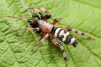 Ground Spider (Sergiolus capulatus) - Male, West Harrison, Westchester County, New York