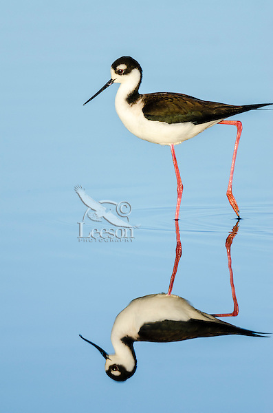 Black-necked Stilt (Himantopus mexicanus) reflecting in shallow pond.  California.  Spring.
