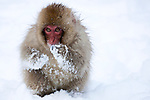 Japan, Japanese Alps, young snow monkey in snow