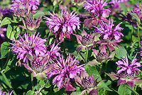 Monarda 'Aquarius', pink-purple beebalm