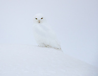 A male Snowy Owl fixes his cold gaze upon an unusual intruder on his Arctic winter habitat.