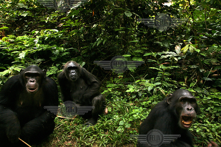 Chimpanzies at the Afi Mountain Wildlife Sanctuary. The Nigerian chimpanzee, Pan troglodytes ellioti, is the most endangered subspecies with a population estimate as low as 6,000...