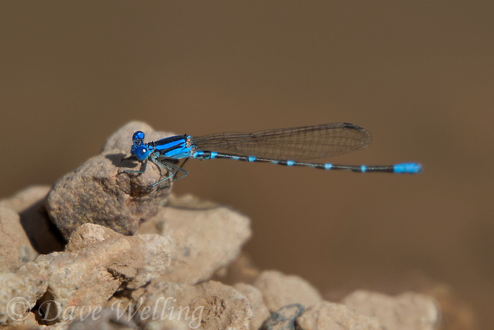 338400024 a wild male blue-ringed dancer argia sedula perches on a rock along eagle creek greenlee county arizona