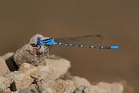 338400024 a wild male blue-ringed dancer argia sedula perches on a rock along eagle creek greenlee county arizona