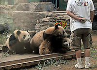 File photo shows Cui Cui being rescued from the  Wolong panda reserve after the he devastating May 12th earthquake.  Eight tramatised one and two year-old  pandas were brought from Wolong to Beijing for recuperation and have been placed in aan Olympic Panda exhibition.<br />