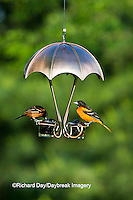 00585-03811 Orchard Oriole male (Icterus spurius)  & Baltimore Oriole (Icterus galbula) male on jelly & fruit feeder, Marion Co, IL
