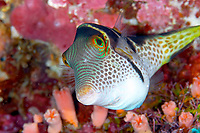Valentin's / saddled toby (canthigaster valentini) looks curiously into the camera , Lekuan tiga, Bunaken, Celebes sea, Pacific Ocean, Sulawesi, Indonesia, Asia
