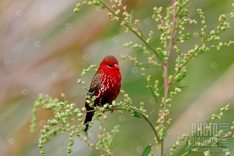 Avadavat (Amandava amandava) Introduced form South esat Asia. Found in grass lands on all of the major Hawaiian Islands