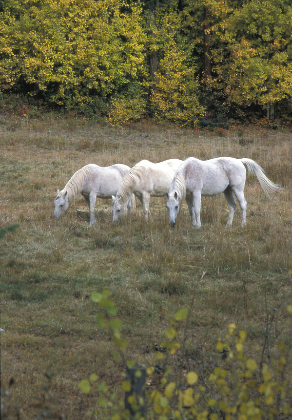 White Arabian Horses in Pasture. East Kootenay near Kimberley. BC