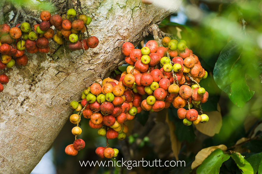 Wild Fig Tree (Ficus sp.) in fruit. Fruiting from trunk called cauliflory. Kinabatangan River, Sabah, Borneo.