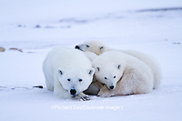 01874-12706 Polar bears (Ursus maritimus)  mother and 2 cubs  in winter, Churchill Wildlife Management Area, Churchill, MB Canada