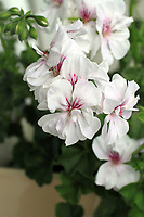 white pelargonium photogrpahed up clsoe with blurred out background. No people