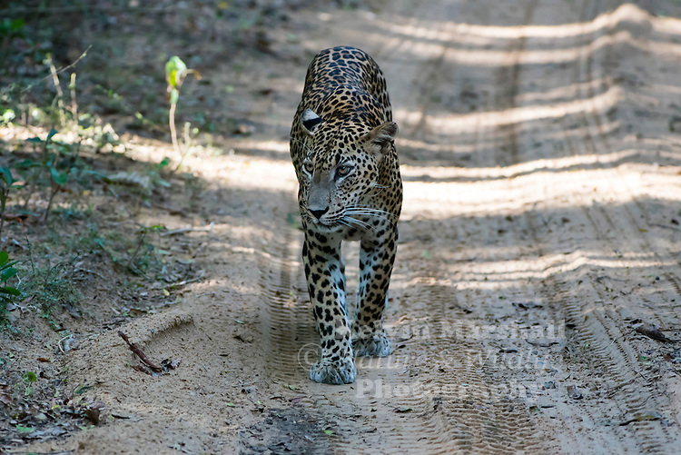 Sri Lankan leopard (Panthera pardus kotiya) is a leopard subspecies native to Sri Lanka. Classified as Endangered by IUCN, the population is believed to be declining due to numerous threats including poaching for trade and human-leopard conflicts. No subpopulation is larger than 250 individuals. Wilpattu National Park - Sri Lanka.