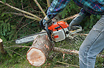 Property owner cuts up an evergreen tree with a chainsaw while wearing safety equipment