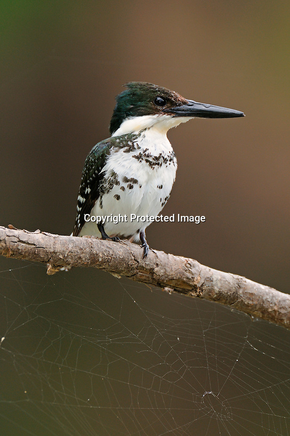 A female green kingfisher perched on an overcast day.