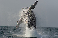 WP90724-D. Humpback Whale (Megaptera novaeangliae) breaching, a behavior in which the whale jumps out of the ocean. We are not sure why whales breach, but theories include: for fun; to communicate with other whales; and to remove parasites and barnacles. South Africa, Indian Ocean.<br /> Photo Copyright © Brandon Cole. All rights reserved worldwide.  www.brandoncole.com