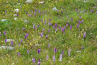 Bergwiese, Orchideenwiese, Alpenwiese, Blumenwiese, Orchideen, Alpen. mountain meadow, alpine meadow, alps, orchids