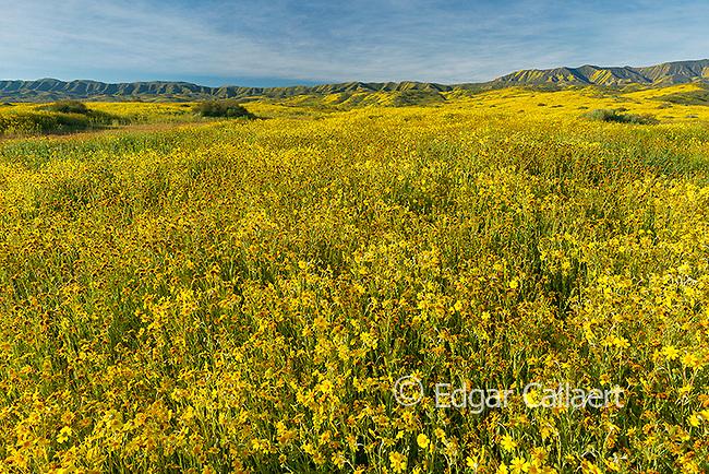 Fiddlenecks, Monolopia, Carizzo Plain National Monument, San Luis Obispo County, California