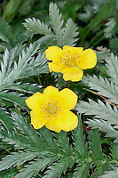 SILVERWEED Potentilla anserina (Rosaceae) Creeping<br /> Low-growing perennial with long, creeping stems. Found in damp, grassy places and on bare ground. FLOWERS are 15-20mm across with 5 yellow petals (May-Aug). FRUITS are dry and papery. LEAVES are divided into up to 12 pairs of leaflets (with tiny ones between them) that are covered in silvery, silky hairs. STATUS-Widespread and common.