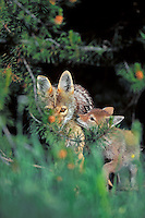 Wild Coyotes--mother with young pup.  Western U.S., June.