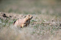Black-tailed Prairie Dog (Cynomys ludovicianus) near Longmont, Colorado.